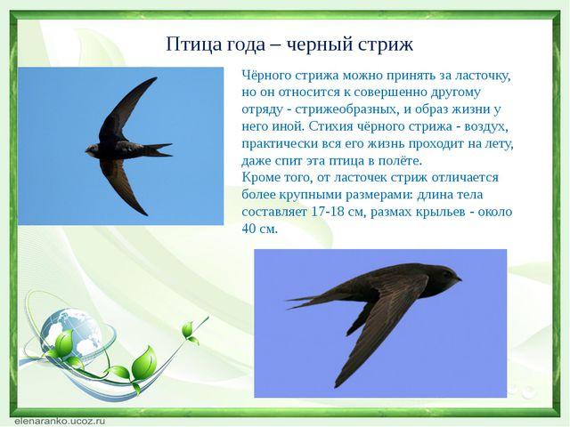 Птица года – черный стриж Чёрного стрижа можно принять за ласточку, но он отн...