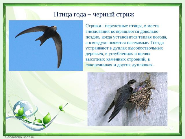 Птица года – черный стриж Стрижи - перелетные птицы, в места гнездования возв...