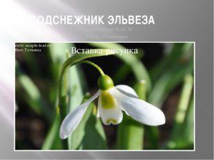 ПОДСНЕЖНИК ЭЛЬВЕЗА Galanthus elwesii Hook. fil. Статус. III категория.
