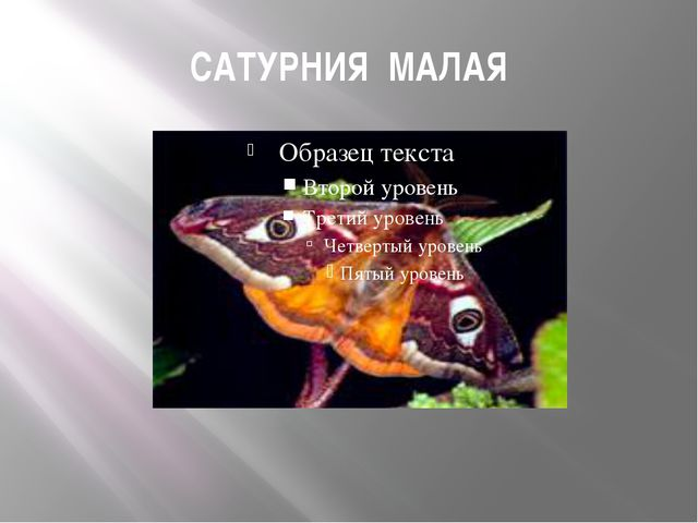 САТУРНИЯ МАЛАЯ