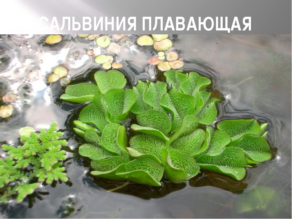 САЛЬВИНИЯ ПЛАВАЮЩАЯ