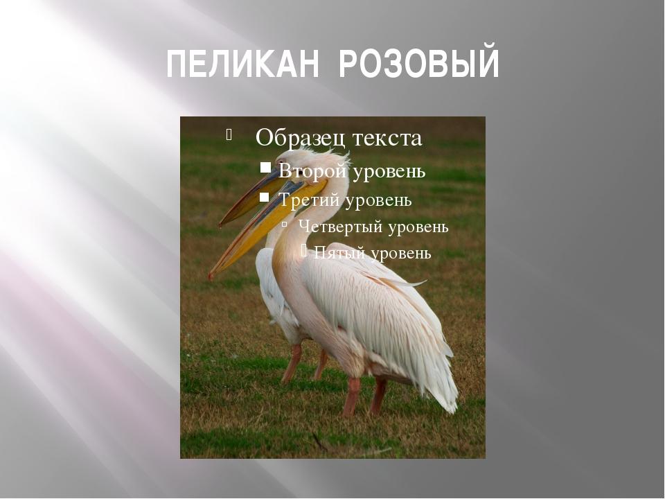 ПЕЛИКАН РОЗОВЫЙ