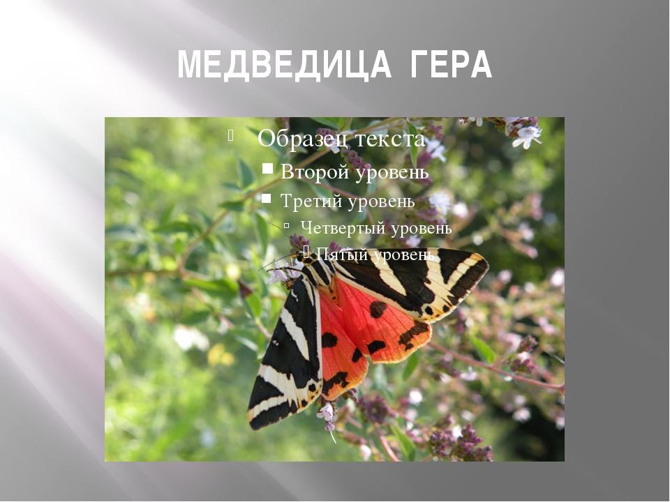 МЕДВЕДИЦА ГЕРА
