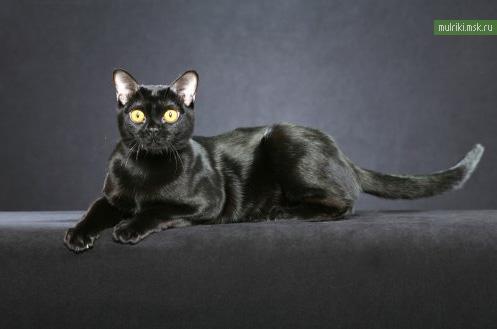 Бомбей, бомбей порода кошки