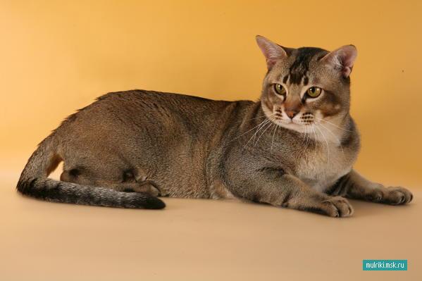 Азиатская табби, азиатская табби порода кошки