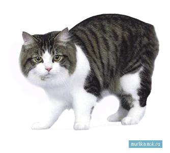 Кимрская кошка (Кимрик), кимрская кошка (Кимрик) порода кошки