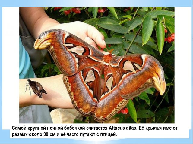 Самой крупной ночной бабочкой считается Attacus aitas. Её крылья имеют размах...
