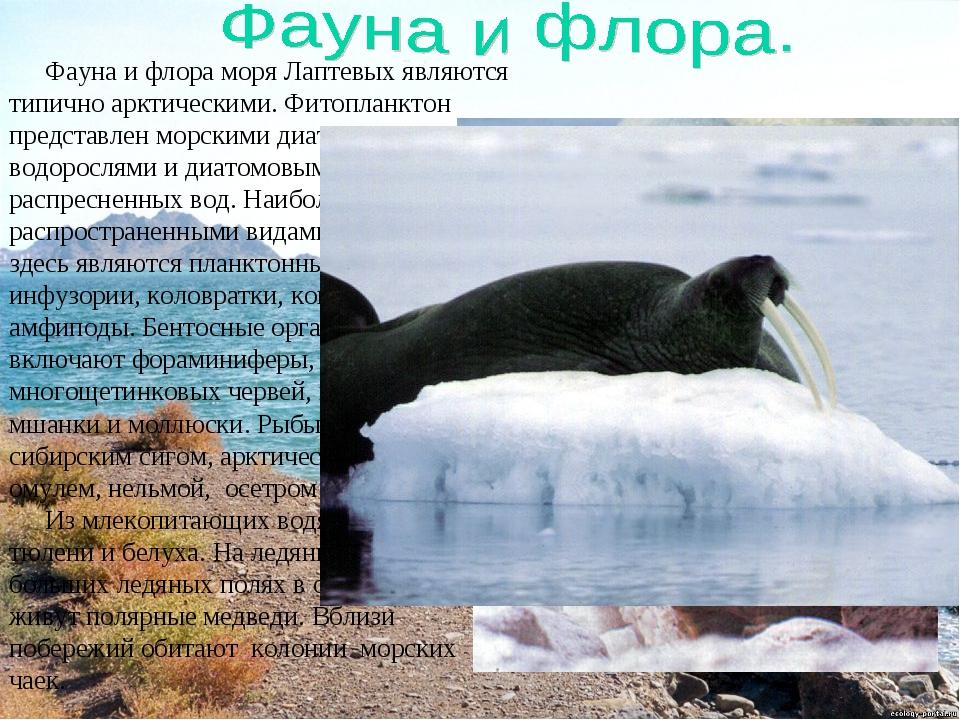 Фауна и флора моря Лаптевых являются типично арктическими. Фитопланктон предс...