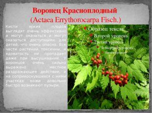 Воронец Красноплодный (Actaea Errythorocarpa Fisch.) Кисти ярких плодов выгля