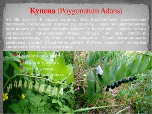 Купена (Poygonatum Adans) На ДВ растут 8 видов купены. Это многолетние травян