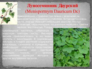 Луносемянник Даурский (Menispermym Dauricum Dc) Луносемянник – травянистая ли