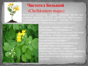 Чистотел Большой (Chelldonium majus) Растения чистотела имеют прямой, ветвист