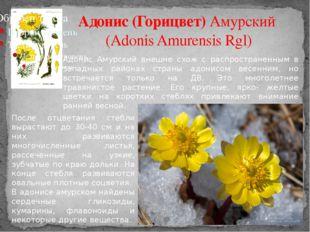 Адонис (Горицвет) Амурский (Adonis Amurensis Rgl) Адонис Амурский внешне схож