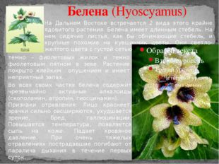 Белена (Hyoscyamus) На Дальнем Востоке встречается 2 вида этого крайне ядовит