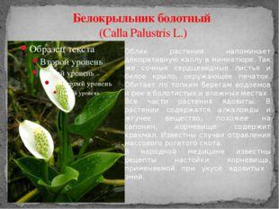 Белокрыльник болотный (Calla Palustris L.) Облик растения напоминает декорати
