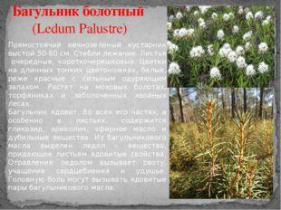 Багульник болотный (Ledum Palustre) Прямостоячий вечнозеленый кустарник высто