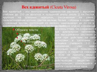 Вех ядовитый (Cicuta Virosa) Вех ядовитый – это многолетнее травянистое расте