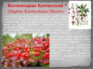 Волчеягодник Камчатский (Daphne Kamtschatica Maxim) Низкий кустарник, который