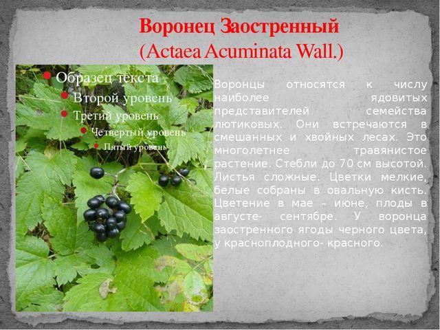 Воронец Заостренный (Actaea Acuminata Wall.) Воронцы относятся к числу наибол...