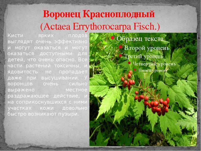 Воронец Красноплодный (Actaea Errythorocarpa Fisch.) Кисти ярких плодов выгля...