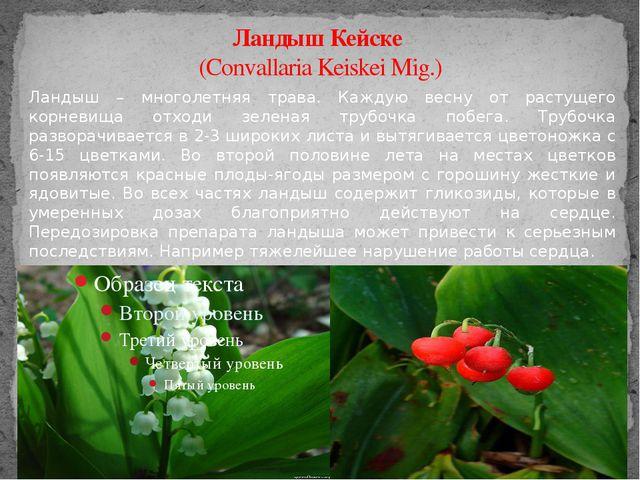 Ландыш Кейске (Convallaria Keiskei Mig.) Ландыш – многолетняя трава. Каждую в...