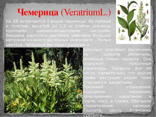 Чемерица (VeratriumL.) На ДВ встречается 5 видов черемицы. Их прямые и толсты...