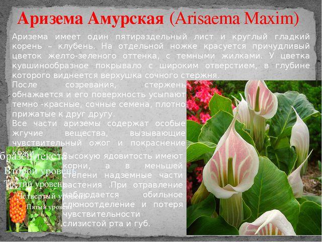 Аризема Амурская (Arisaema Maxim) Аризема имеет один пятираздельный лист и кр...