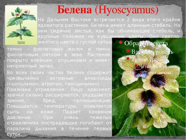 Белена (Hyoscyamus) На Дальнем Востоке встречается 2 вида этого крайне ядовит...