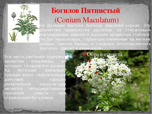 Богилов Пятнистый (Conium Maculatum) На Дальнем Востоке богилов завозной сорн...