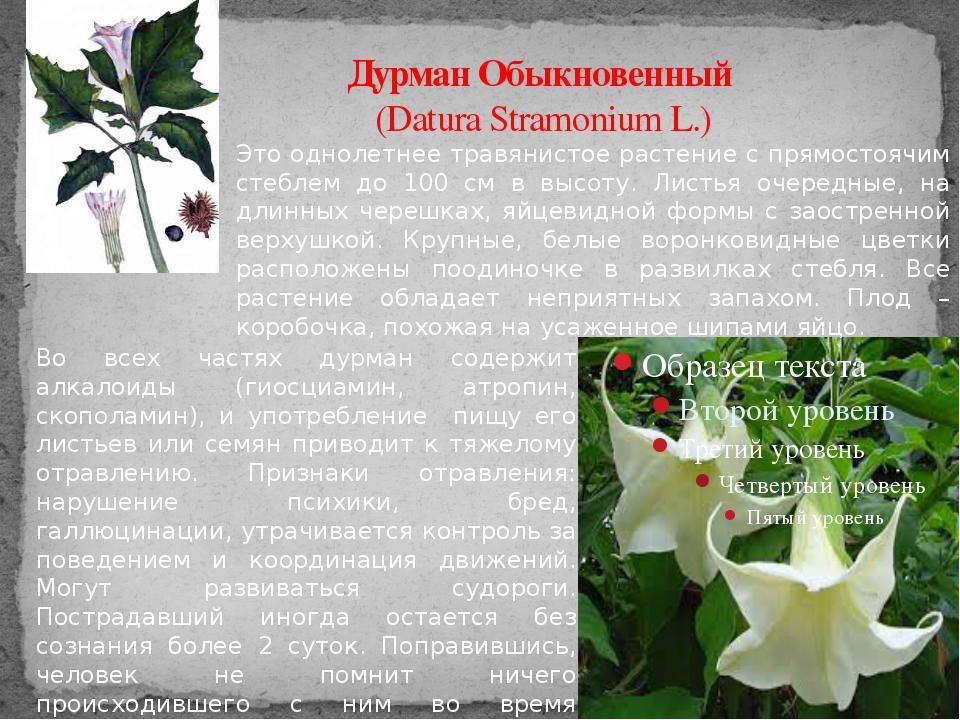Дурман Обыкновенный (Datura Stramonium L.) Это однолетнее травянистое растени...