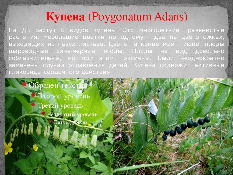 Купена (Poygonatum Adans) На ДВ растут 8 видов купены. Это многолетние травян...