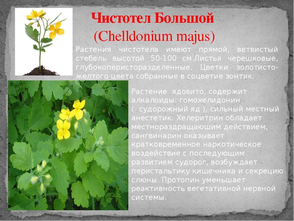 Чистотел Большой (Chelldonium majus) Растения чистотела имеют прямой, ветвист...