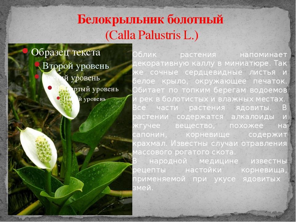 Белокрыльник болотный (Calla Palustris L.) Облик растения напоминает декорати...