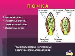П О Ч К А Зачаточный побег: Зачаточный стебель Зачаточные листочки Зачаточные