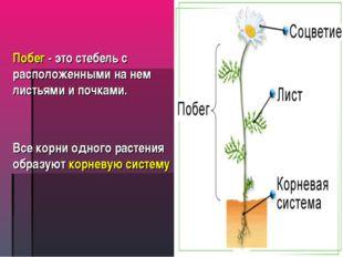 Побег - это стебель с расположенными на нем листьями и почками. Все корни одн