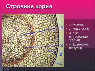 Строение корня 1. Кожица 2. Кора корня 3. Луб (ситовидные трубки) 4. Древесин