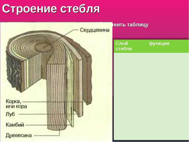Строение стебля заполнить таблицу Слой стебляфункция