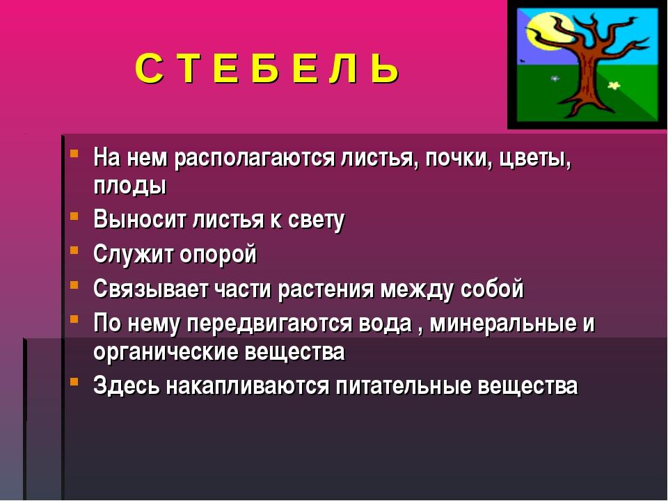С Т Е Б Е Л Ь На нем располагаются листья, почки, цветы, плоды Выносит листья...
