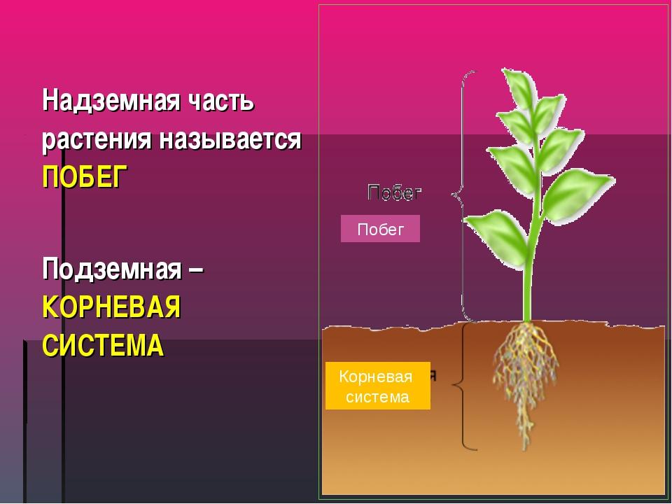 Надземная часть растения называется ПОБЕГ Подземная – КОРНЕВАЯ СИСТЕМА Побег...