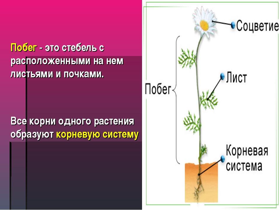 Побег - это стебель с расположенными на нем листьями и почками. Все корни одн...