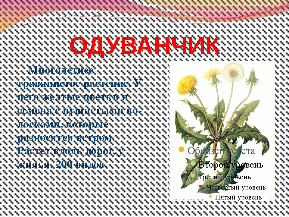 ОДУВАНЧИК Многолетнее травянистое растение. У него желтые цветки и семена с п...