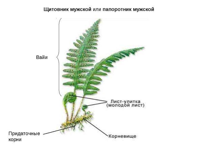 Придаточные корни Вайи Щитовникмужскойилипапоротникмужской