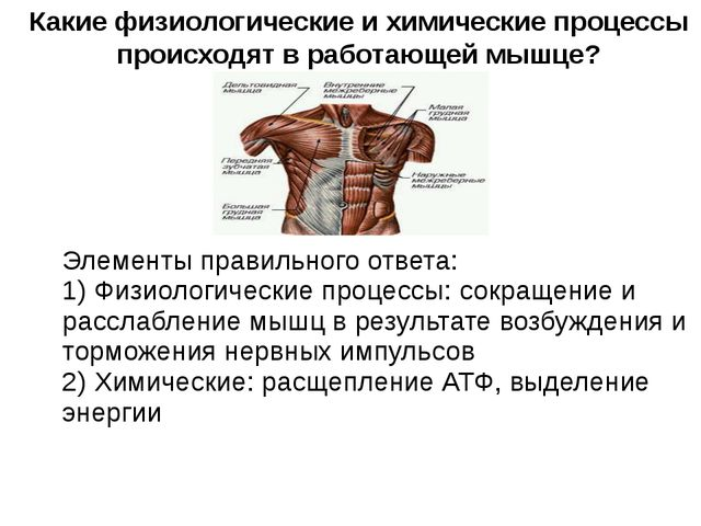 Какие физиологические и химические процессы происходят в работающей мышце? Э...