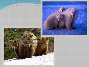 Медведи – самые крупные хищники планеты. Все рекорды бьет белоснежный красав