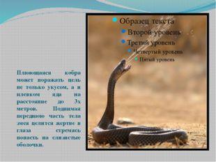 Плюющаяся кобра может поражать цель не только укусом, а и плевком яда на рас
