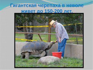 Гигантская черепаха в неволе живет до 150-200 лет.