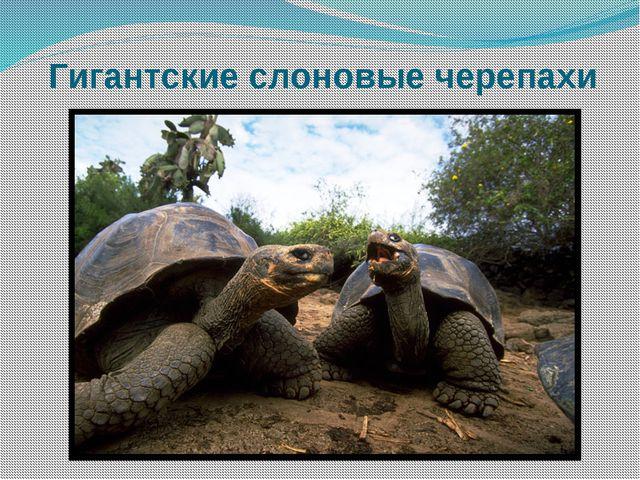 Гигантские слоновые черепахи