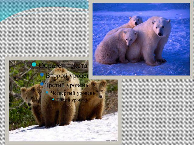 Медведи – самые крупные хищники планеты. Все рекорды бьет белоснежный красав...