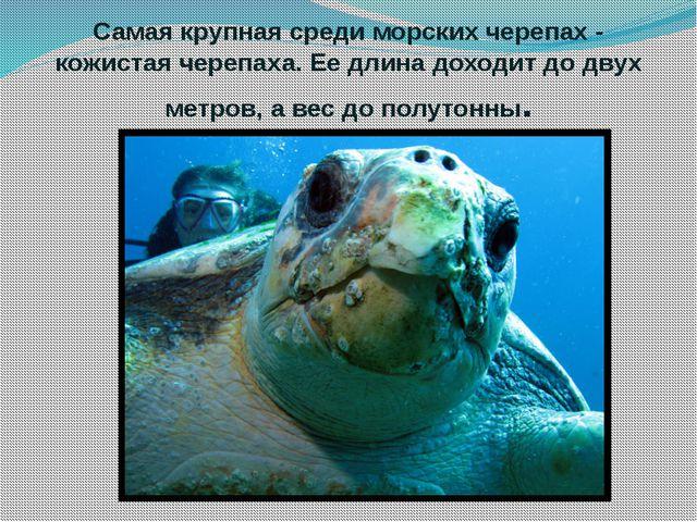 Самая крупная среди морских черепах - кожистая черепаха. Ее длина доходит до...