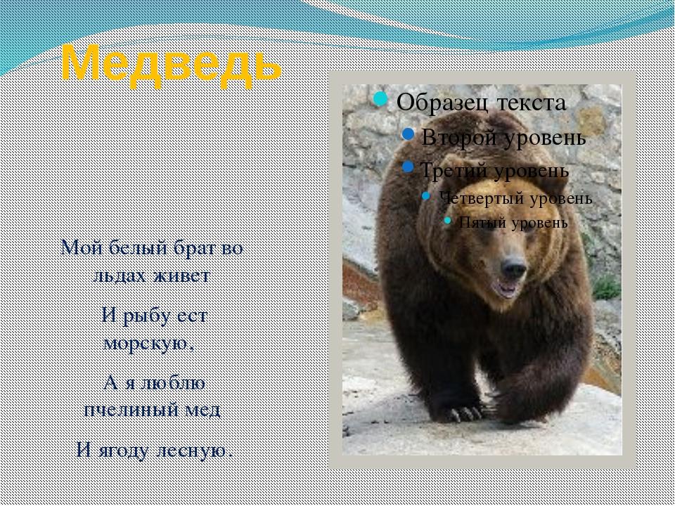 Медведь Мой белый брат во льдах живет И рыбу ест морскую, А я люблю пчелиный...